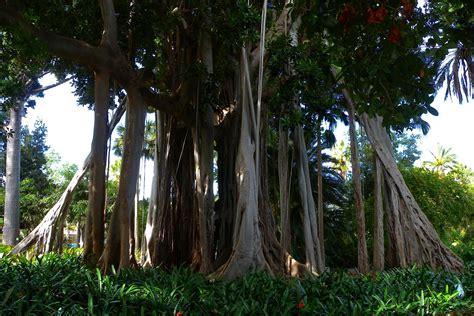 Il Tarlo Per Le discettazioni erranti ficus macrophylla f columnaris un