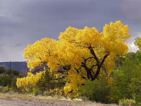 new year yellow tree threads and traces family recipe monday yellow trees