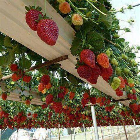 Strawberry Garden Ideas Strawberry Trellis Garden Ideas Trellis And Strawberries