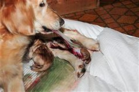 golden retriever giving birth to puppies whelping puppies stage two labor