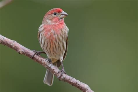 purple house finch photos to help you id purple finch and house finch