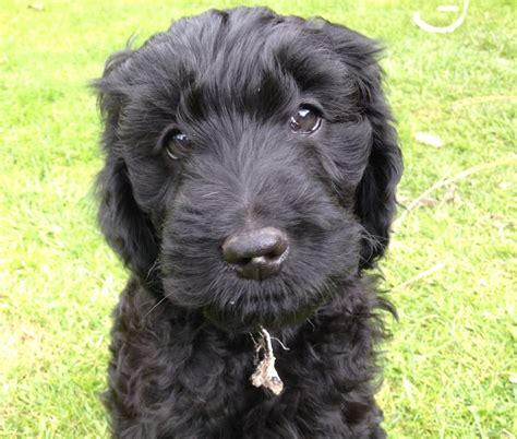 doodle puppies for sale labradoodle puppies for sale newcastle upon tyne tyne