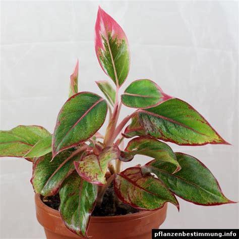 foliage plant identification aglaonema sp