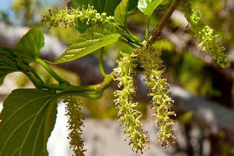 mulberry tree morus alba ahwatukee allergist