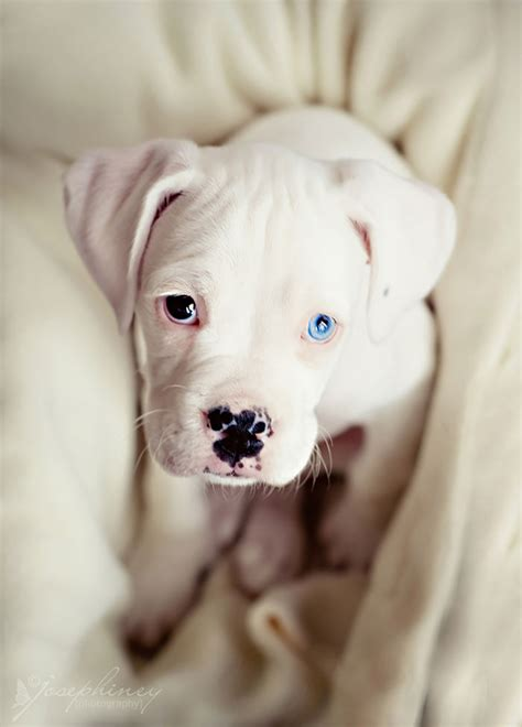 chagne color pitbull 13 unusually beautiful animals with different colored