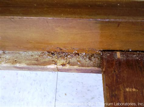 bed bugs in wood bed bugs pictures titanium laboratories inc
