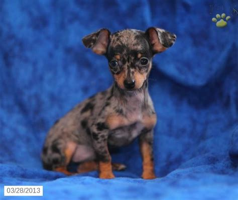 chiweenie puppies for sale chiweenie puppy for sale in christiana pa chiweenie puppy for sale a