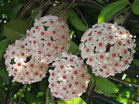 hoya housing hoya carnosa wax plant world of flowering plants