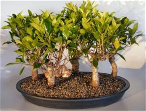 one of a kind bonsai trees