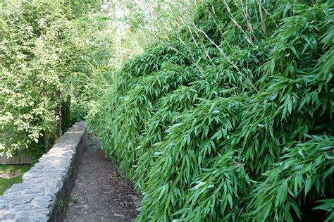 Pflanzen Als Sichtschutz 2087 by Bambus Pflanzenshop Fargesia Denudata Lancaster