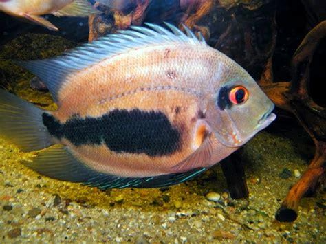 peluang usaha budidaya ikan indonesia peluang usaha budidaya ikan uaru dan analisa usahanya