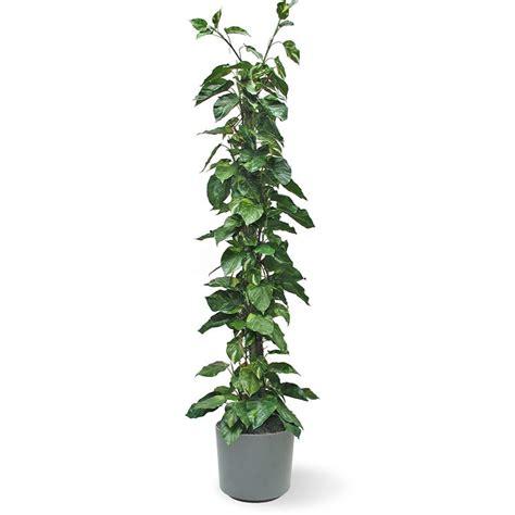 pianta per interni pothos piante da interno potos da appartamento