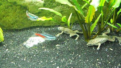 Feeding Frog frogs feeding swimming surfacing