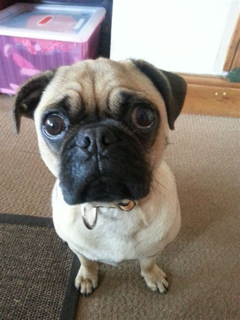 pug 4 months 8 month 3 4 pug 1 4 beagle puggle ibstock leicestershire pets4homes
