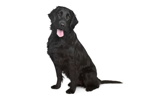 flat coated retriever mix puppies for sale bull terrier cross poodle breeds picture