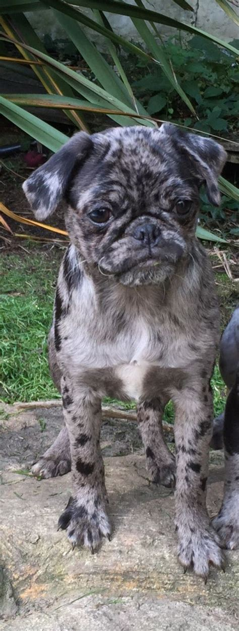 blue pugs for sale last merle pug puppy for sale uckfield east sussex pets4homes