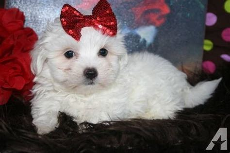 maltese puppies for sale louisiana 146 best images about teacup maltese for sale on adoption maltese for