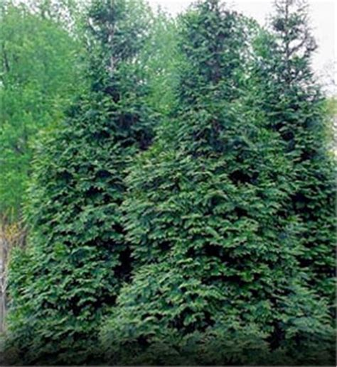 fast growing maple trees thuja gardens 25 best ideas about green giant tree on pinterest fast