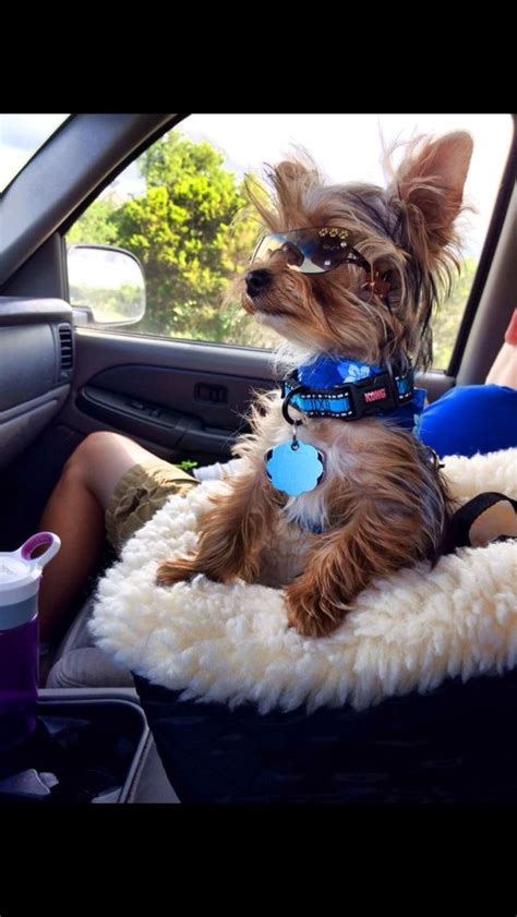 yorkie car seat snickers enjoying his new halter vest and car seat