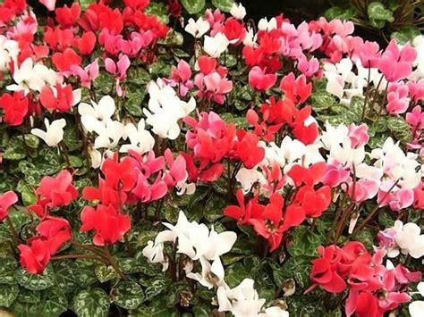 cura dei ciclamini in vaso ciclamino cura piante appartamento come curare il