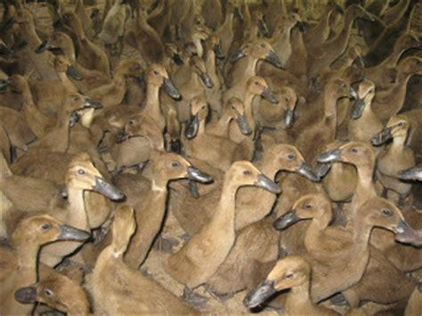 Bibit Bebek Potong semua bisa cara beternak bebek petelur dan pedaging yang