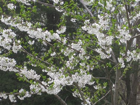 fragrant tree a great tree fragrant yoshino cherry