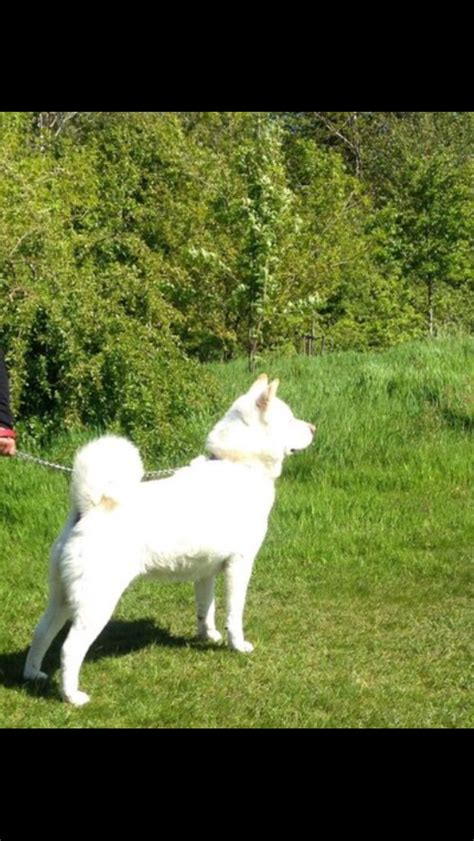 akita puppies for free akitas for free to home nelson lancashire pets4homes