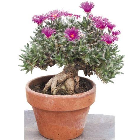 miniature desert rose trichodiadema densum mini desert
