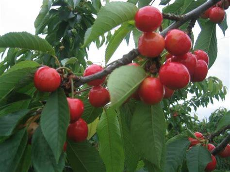 cherries terhune orchards