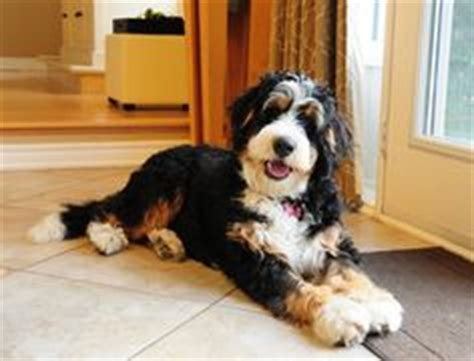 Do Bernese Mountain Shed by A Handsome Bernedoodle From Swissridge Kennels This