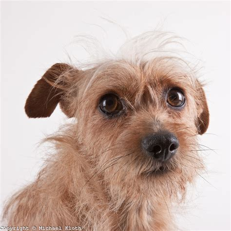cairn puppies cairn terrier hair cuts newhairstylesformen2014