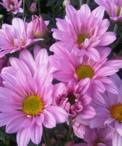 Jual Bibit Bunga Aster Dan Krisan jual tanaman krisan bibitbunga