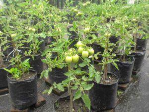 menanam tomat polybag teknik mudah ilmubudidayacom