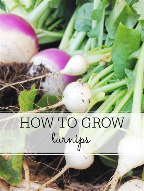 how to grow root vegetables 314 best images about gardening tomatoes peppers