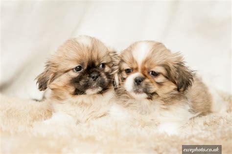 cava tzu puppies cava tzu puppies warrington cheshire pets4homes