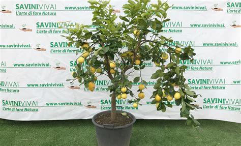 pianta limone in vaso pianta di limone 4 stagioni esemplare alto 180 200 cm in