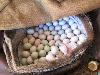 Lox Kotak Jam Isi 3 5 10 18 Perhiasan Tissue Dompet Mobil 35 itik banyuwangi cara bagaimana menetaskan telur secara