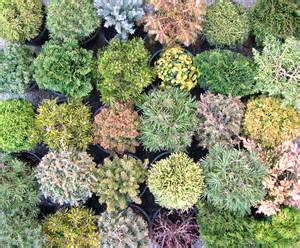 mini plants dwarf and miniature conifer tapestry