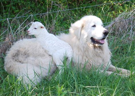 maremma puppy dogs maremma sheepdog breeds picture