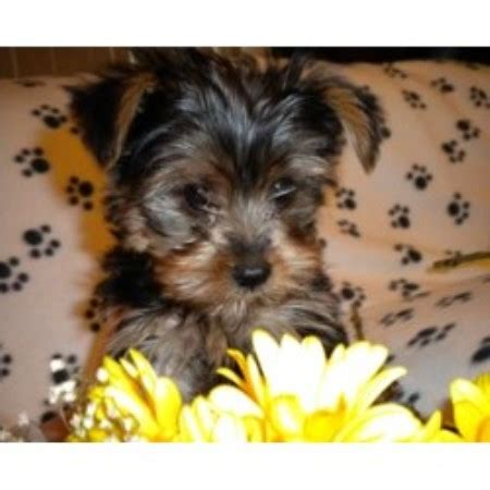 yorkie puppies central illinois shellys yorkie central terrier breeder in atwater california