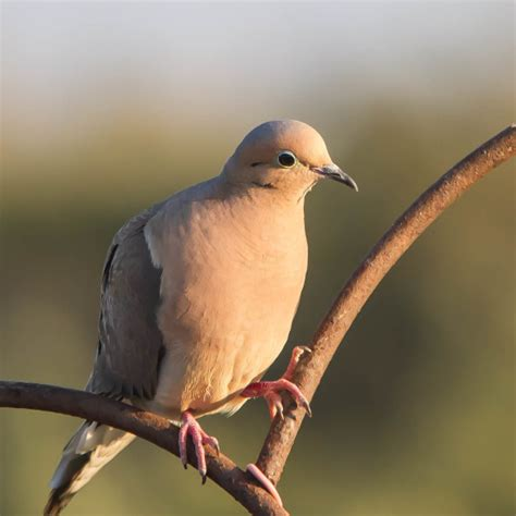 mourning dove facts diet habitat pictures on