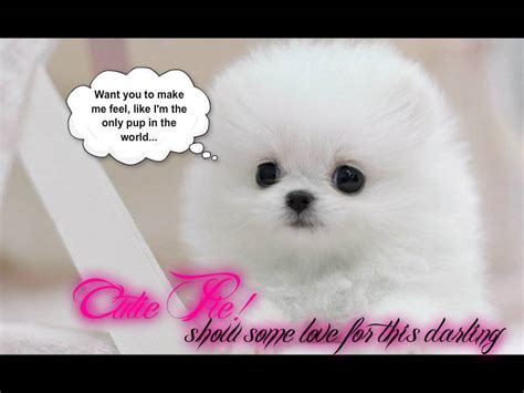 pictures of white pomeranian puppies pomeranian pup dogs picture