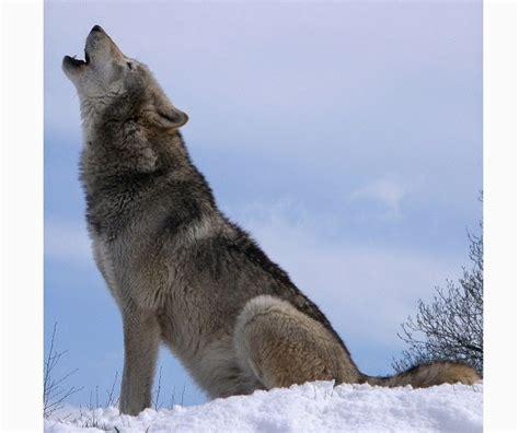 im 225 genes de un lobo gris im 225 genes y fotos imagenes de lobos aullando lobo aullando imagenes de