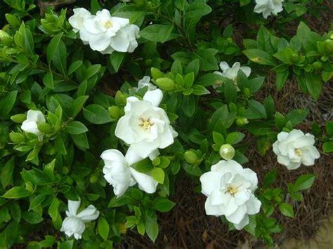 flowers for flower lovers gardenia flowers
