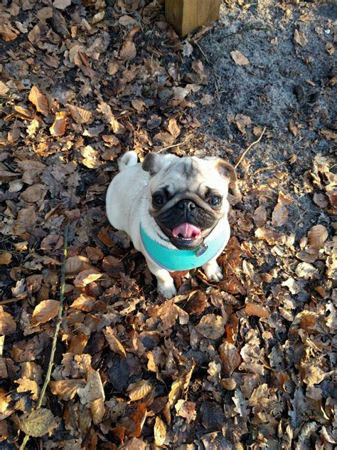 pugs for sale dorset gorgeous chunky pug for sale poole dorset pets4homes