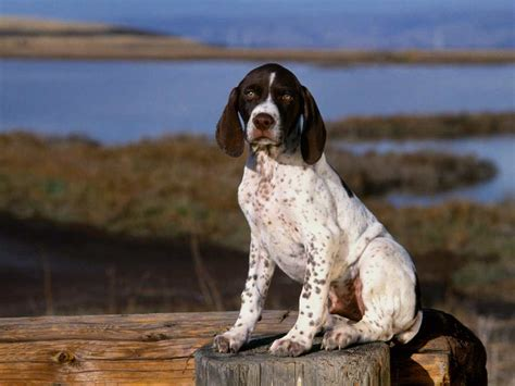 pointer breeds pointer breed guide learn about the pointer