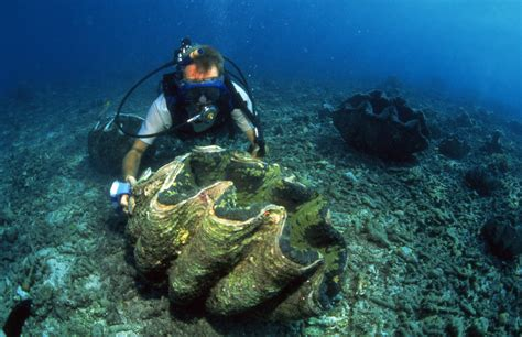 Cleaning giant clam broodstock, Solomon Islands. Photo by ...