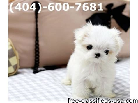 free puppies bay city mi beautiful akc tea cup maltese puppies animals