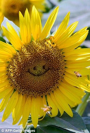 smiling sunflowers  visitors  tokyo flower show