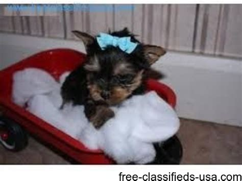 adorable yorkie puppies for adoption adorable yorkie puppies for adoption animals